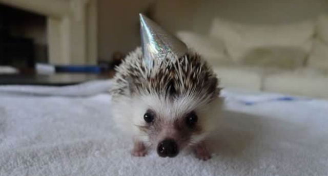 Birthday-hedgedog