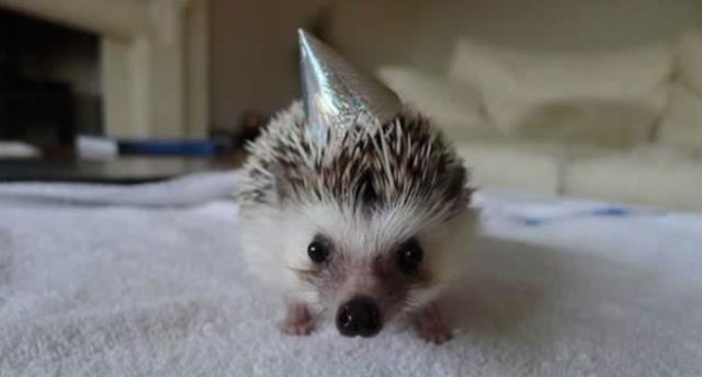 Birthday-hedgedog